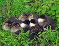 Chick mallard in a huddle Royalty Free Stock Photos