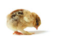 Chick pecks little pedigreed yellow brown with shaggy paws on white background Stock Image