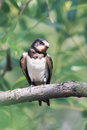 chick swallows sitting on a branch Royalty Free Stock Photo