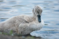 Chick swan on the water Royalty Free Stock Photo