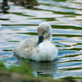 Chick swan on the water Stock Photo