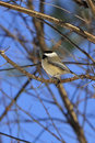 Chickadee Royalty Free Stock Image