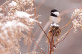 Chickadee Royalty Free Stock Photo
