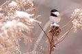 Chickadee Royalty Free Stock Photos