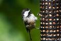 Chickadee and Bird Feeder Royalty Free Stock Photo