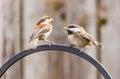 Chickadee bird juvenile northern california Royalty Free Stock Images