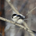Chickadee fluffy sitting on a branch close up Royalty Free Stock Images