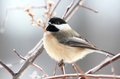 Chickadee little in nature during winter Royalty Free Stock Images