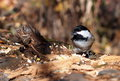 Chickadee on log black capped with bird seed Royalty Free Stock Photography