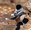 Chickadee on log black capped with bird seed Royalty Free Stock Photo
