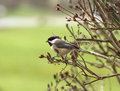 Chickadee Perched on Branches Royalty Free Stock Photo
