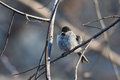 Chickadee perched on a tree branch after swimming in a puddle Royalty Free Stock Photography