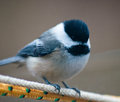 Chickadee perches on a rope looking straight into the camera Royalty Free Stock Images