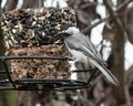 Chickadee Sitting On A Bird Feeder Looking Around