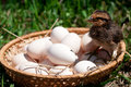 Chicken in a basket with eggs small on summer farm Stock Image