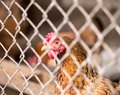 Chicken behind the fence Royalty Free Stock Photo