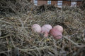 Chicken bio eggs in straw. Raw eggs in the morning on rural farm yard Royalty Free Stock Photo