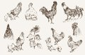 Chicken breeding set of vector sketches Stock Image