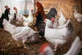 Chicken broilers. Poultry farm Royalty Free Stock Photo