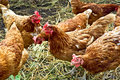 Chicken brown group Royalty Free Stock Photos