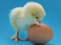 Chicken from chicken one day old little fluffy chick Stock Images