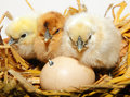 Chicken chicks hatching fluffy yellow and brown watching and waiting for an egg to hatch Royalty Free Stock Photo