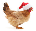 Chicken In Christmas Hat.