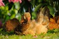 Chicken cleaning itself a young outdoors other chickens in the background Stock Images