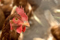 Chicken closeup of head of brown Royalty Free Stock Photography
