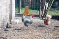 Chicken coop with the hens inside and the rooster Royalty Free Stock Photo