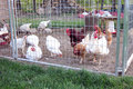 Chicken coop small and fenced area for egg laying fowl Royalty Free Stock Image