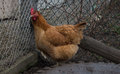 Chicken cornered in a muddy yard Royalty Free Stock Photos