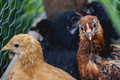 Chicken Coup Royalty Free Stock Photo