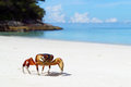 Chicken crab on the beach of tachai island similan islands national park phang nga thailand Royalty Free Stock Photography