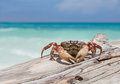 Chicken crab on the beach of tachai island similan islands national park phang nga thailand Stock Photos