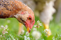 Chicken eating grass a closeup of a young Stock Photos