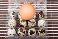 Chicken egg and quail eggs Royalty Free Stock Photo