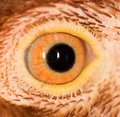 Chicken Eye Close-Up Royalty Free Stock Photo