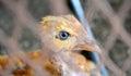 Chicken Eye Royalty Free Stock Photo