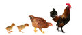 Chicken family isolated on white Royalty Free Stock Photo