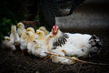 Chicken family in the yard Royalty Free Stock Photo