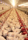 Chicken Farm, Poultry Royalty Free Stock Photo