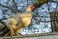 Chicken on the fence. White chicken stands on a fence against Royalty Free Stock Photo