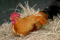 Chicken (Gallus gallus domesticus) Stock Images