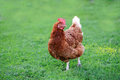 Chicken grazing on the grass Royalty Free Stock Photo