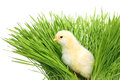 Chicken in green grass Royalty Free Stock Photo