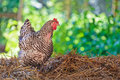 Chicken on hay on a free range farmyard white with gray walking Royalty Free Stock Images