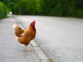 Chicken hen on the road Royalty Free Stock Photo