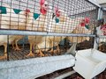 Chicken hens in a cage poultry