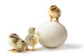 Chicken hierarchy three little pedigreed yellow brown with shaggy paws one stans on big ostrich egg the others are on the floor Royalty Free Stock Photo